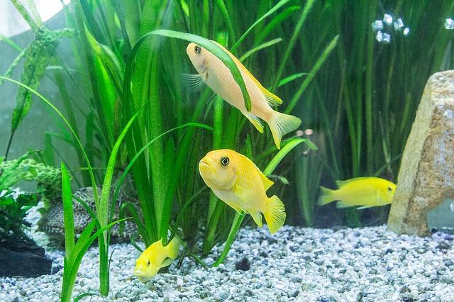 žluté rybičky v akvárku