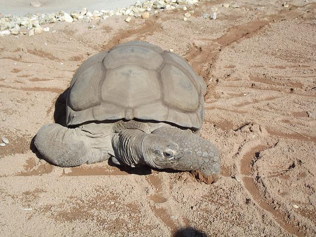 želva sloní v přírodě