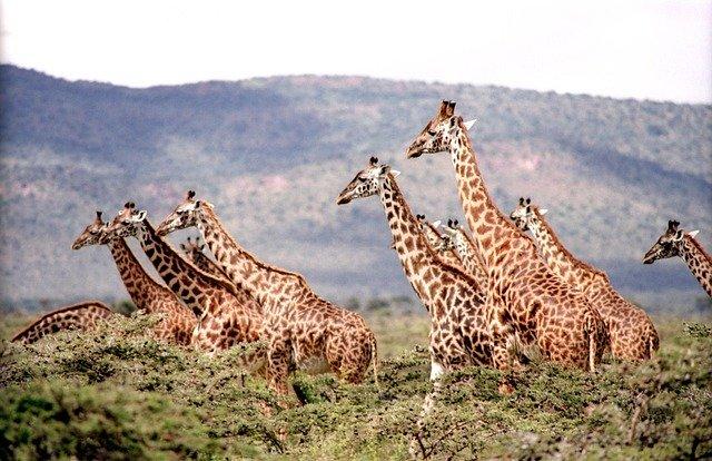 Stádo žiraf na pastvě